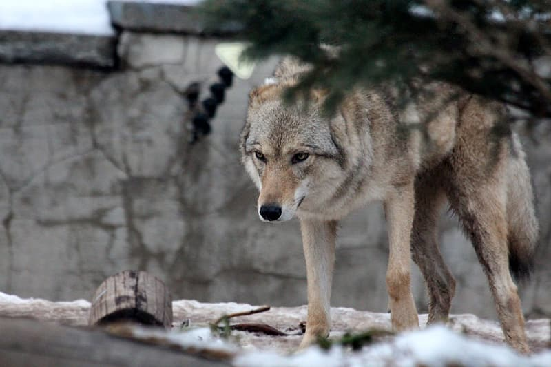 Shallow focus photo of lone wolf
