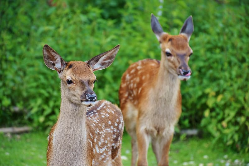Two brown deers