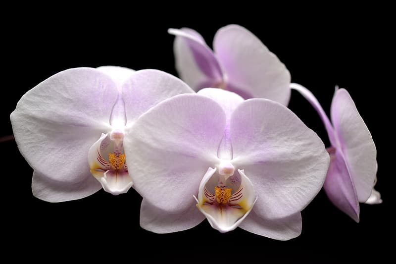 White and purple Orchid flower close up photography