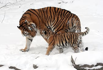 Tiger and cab standing on snow covered ground during daytime