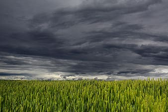 Green wheat fields under cumulus nimbus clouds