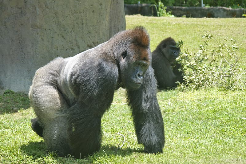 Black gorilla on green grass field during daytime