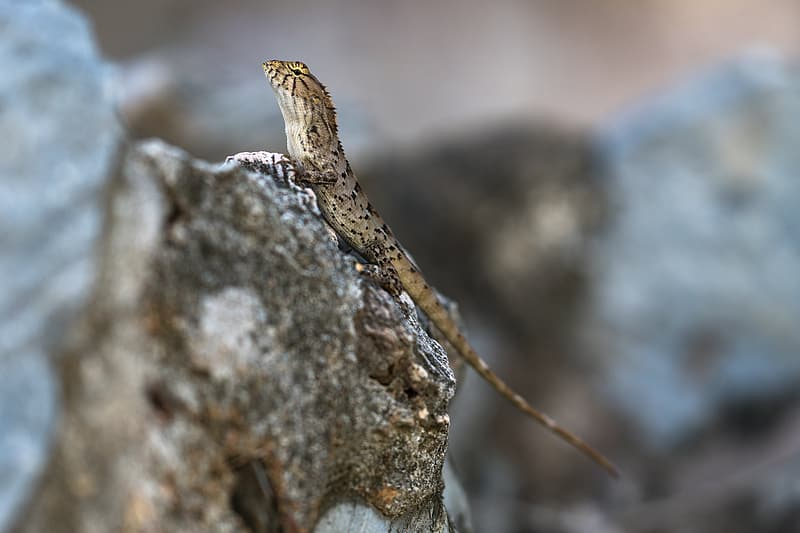 Brown and black lizard on gray rock