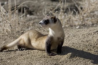 White and brown weasel
