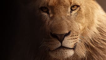 Close up photography of male lion