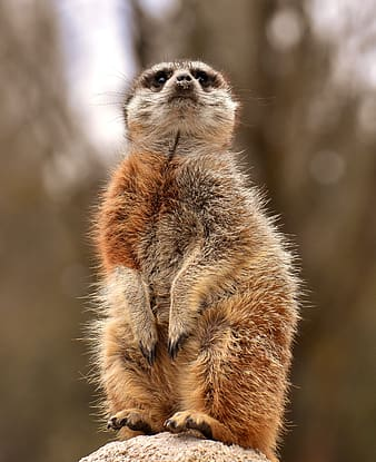 Selective focus photography of red and white meerkat at daytime