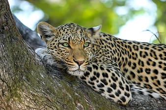 Wildlife selective focus photography of leopard laying on branch