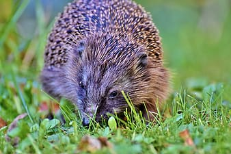 Brown hedgehog on green grass during daytime