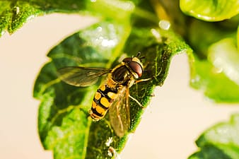 Yellow and black bee on green leaf
