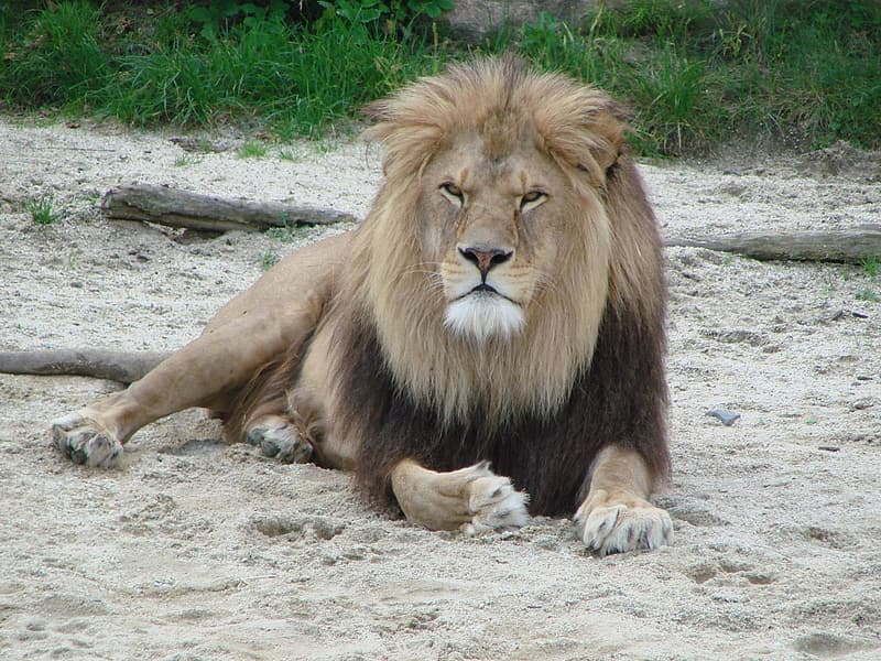 Brown lion leaning on sand against green grass
