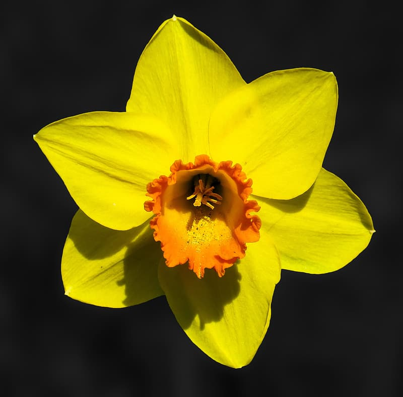 Yellow and orange daffodil flower in close up photography
