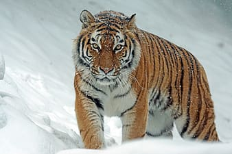 Tiger during snow