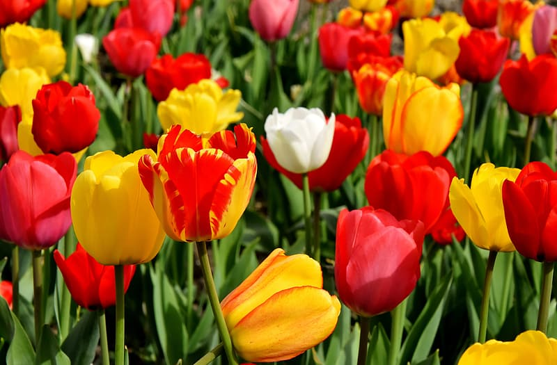 White, red, and yellow tulips in bloom