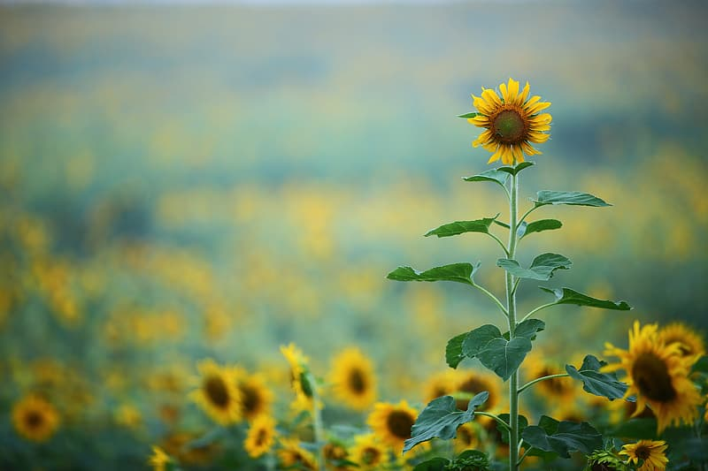 Selective focus photograph of sunflower field