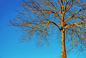 Brown bare tree under blue sky during daytime