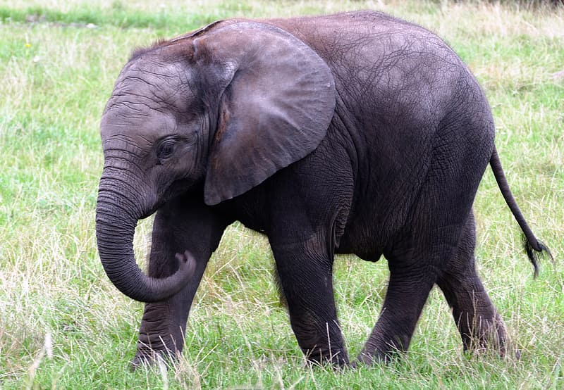 Baby elephant standing on green grasses