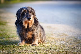 Black and brown long coated small dog on green grass field during daytime