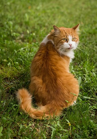 Orange and white cat sitting on green grass