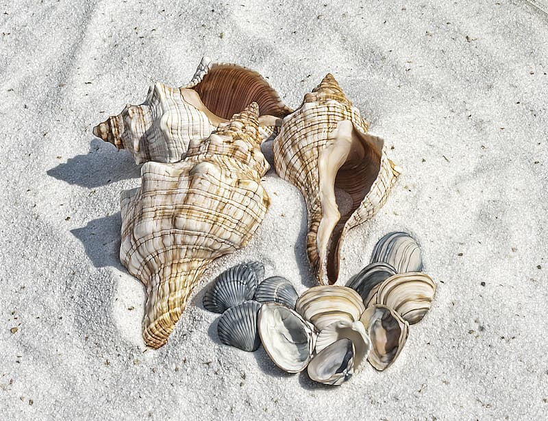 Four brown-and-white conch shells and assorted scalloped shells on top of brown sand
