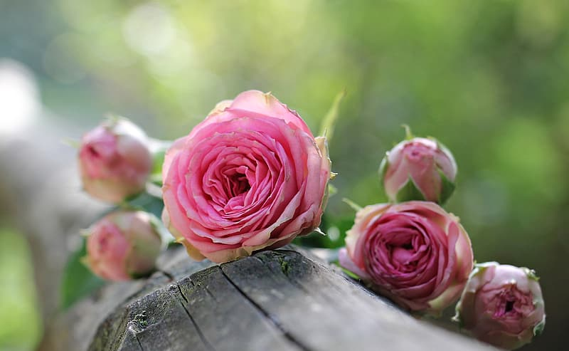 Selective photography of a pink rose