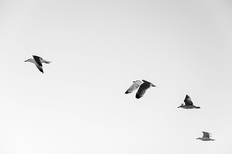 Four black-and-white birds in flight
