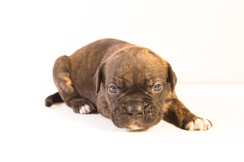 Brindle American pit bull terrier puppy