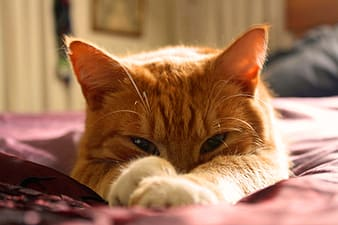 Orange Tabby cat laying on red textile