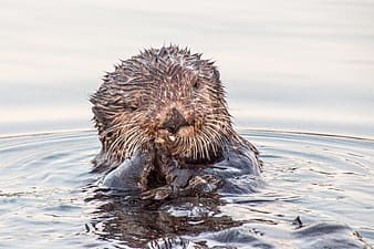 Brown fur animal on water