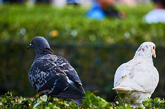 White and black pigeons