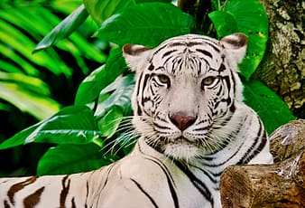 White and black tiger lying beside tree