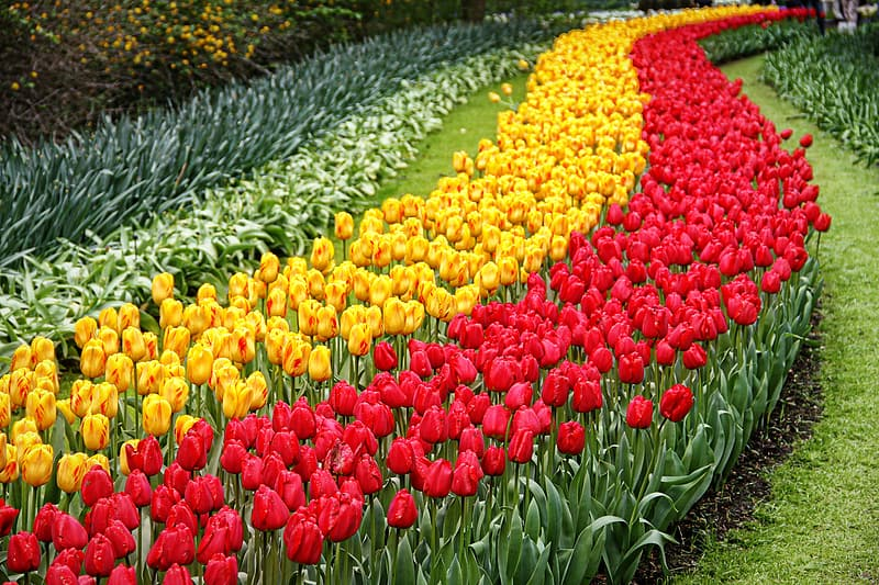 Red yellow and white tulips flower field