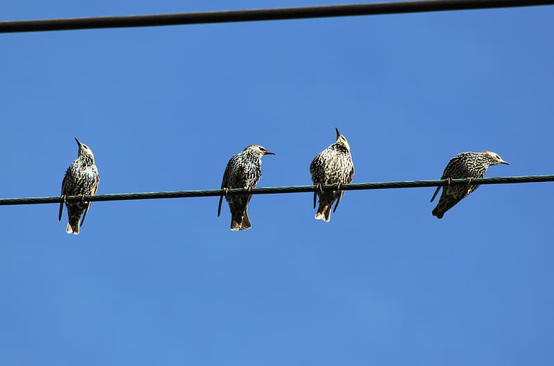 Four birds on power cable