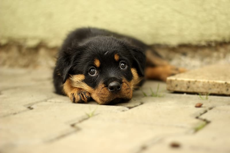 Shallow focus photography of black and brown rottweiler puppy