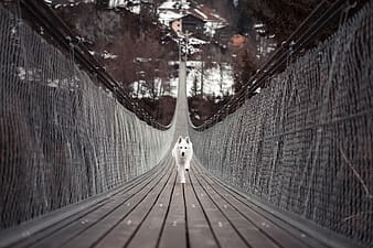 Adult white shepherd running on wooden bridge during daytime