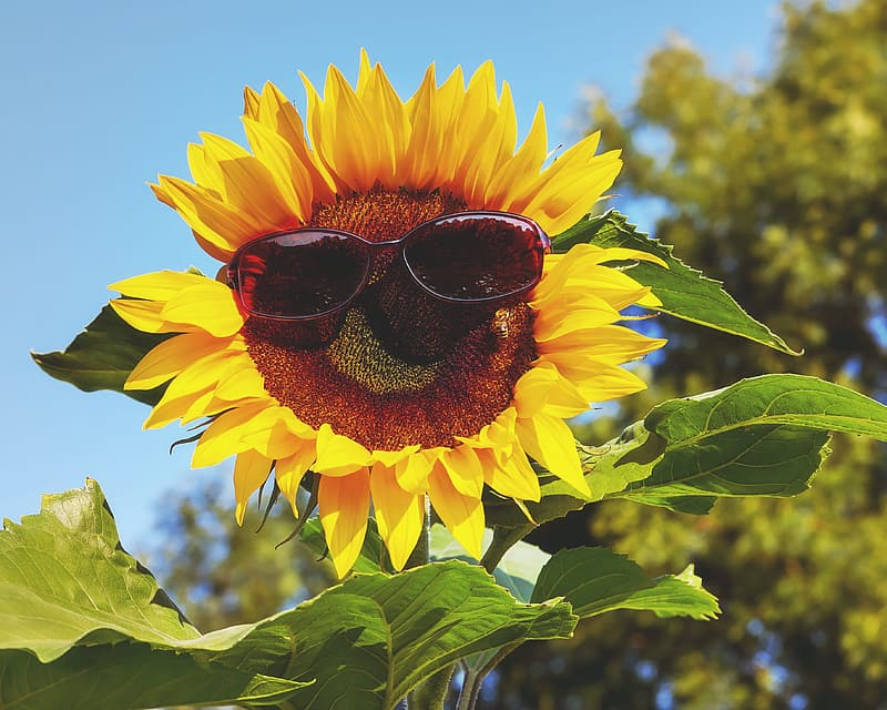 Sunglasses on sunflower at daytime