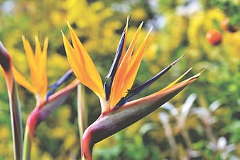Yellow and red birds of paradise in bloom during daytime