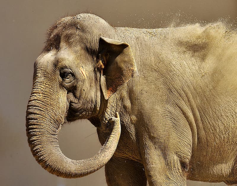 Animal photography of gray Elephant in gray background