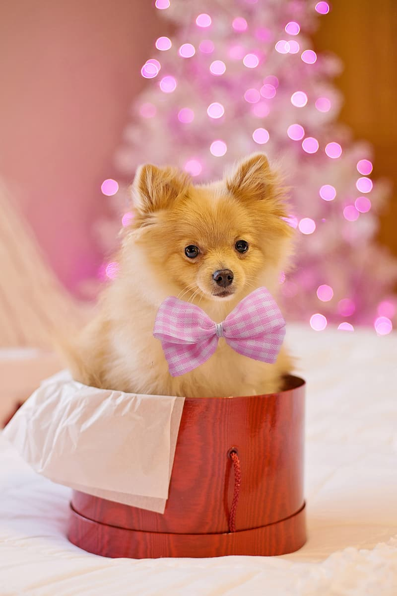 Brown pomeranian puppy in pink and white polka dot ribbon