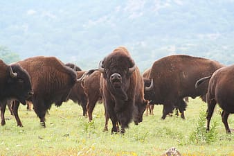 Herd of brown bisons on lush grass field during daytime