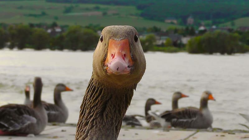Selective focus photography of goose near the body of water