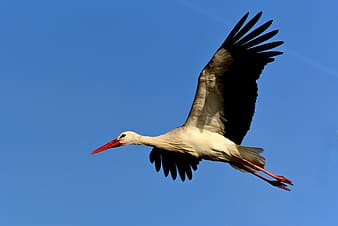 White stork flying during daytime