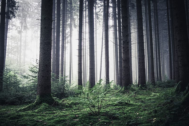 Trees in the forest graphic wallpaper