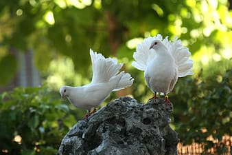 Two white pigeons standing on rock