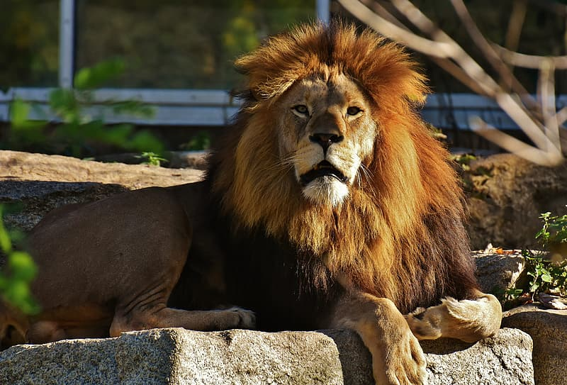 Male brown lion sitting on rock