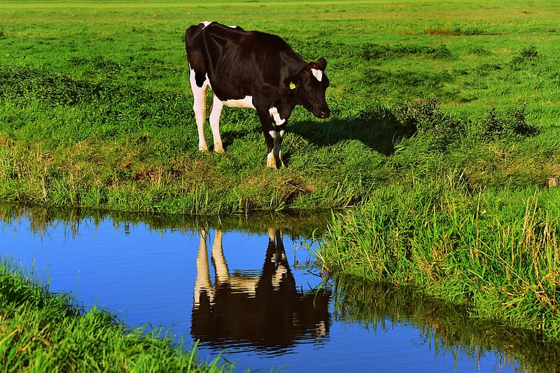 Black and white cow on green grass field beside body of water during daytime