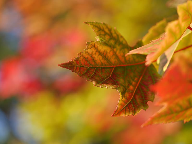 Green and brown maple leaf