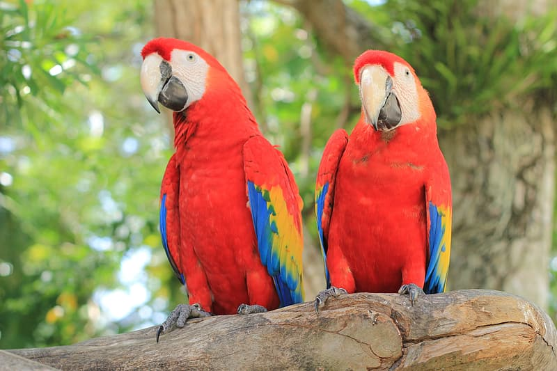 Two red, yellow, and blue parrots