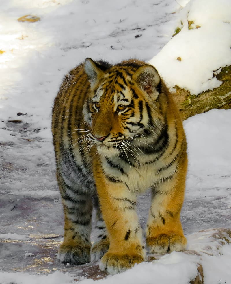 Tiger on snow field