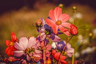 Pink cosmos flowers in bloom during daytime