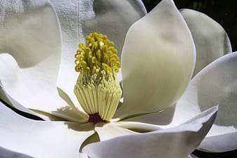Closeup photography of white magnolia flower
